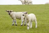 Fototapeta Fototapety ze zwierzętami  - lamb standing on pasture © Caro S.