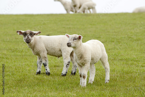 lamb standing on pasture - 253460262