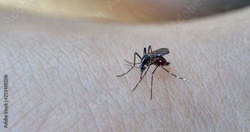 Mosquito. Asian Tiger Mosquito. - 253468206