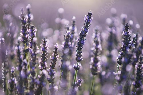 lavender - 253500848