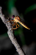 Close-Up of the beautiful Robber Fly with blurred background