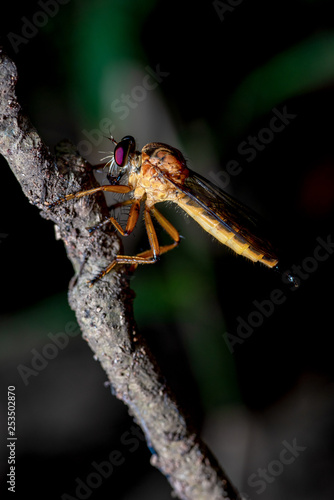 Close-Up of the beautiful Robber Fly with blurred background - 253502870