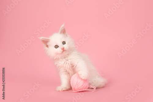 Cute white main coon kitten looking at the camera holding a pink ball of wool on a pink background