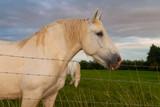 Fototapeta Konie - Horses at french countryside. © Jorge Argazkiak
