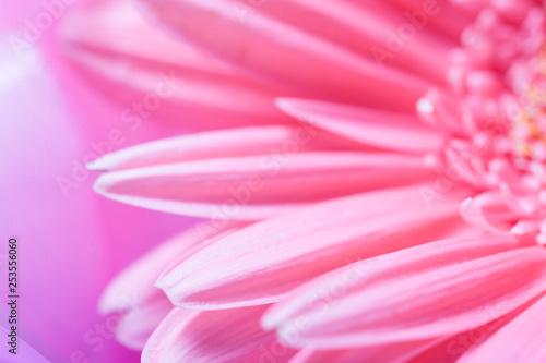 Beautiful pink gerbera petals close up. macros - 253556060