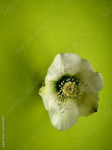 Spring flower hellebore on the green background