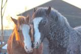 Fototapeta Konie - tenderness in horses, husband caresses pregnant wife, horses of American curly breed © Olena