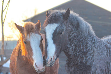 tenderness in horses, husband caresses pregnant wife, horses of American curly breed
