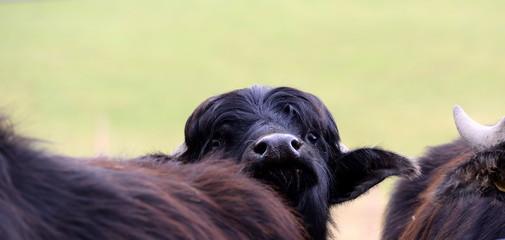 neugierig. Schwarzer wasserbüffel lugt hinter anderen hervor © Grubärin