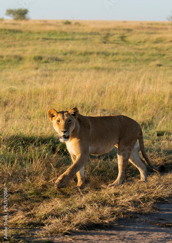 A lioness walking inside  Masai Mara National Park during a wildlife safari