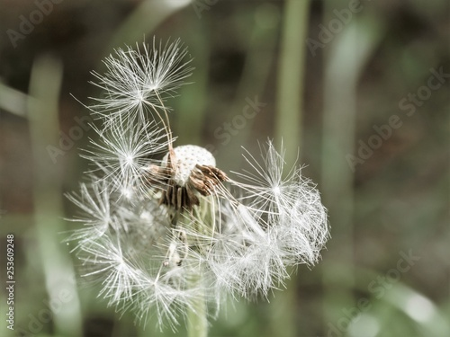 dandelion in the wind - 253609248
