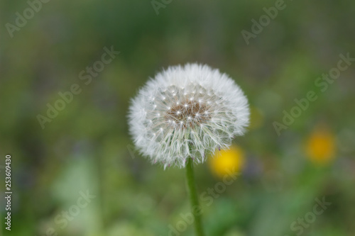 dandelion or celandine grow in a sunny meadow in spring and summer - 253609430