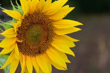 Close up of a sunflower head