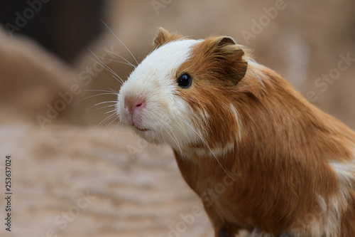 Close up head shot of a guinea pig