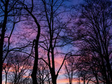 Fototapeta Na ścianę - early spring sunset in the woods in purple and pink © Michele