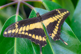 Nature close up of a butterfly giant swallowtail (papilio cresphontes) on a plant