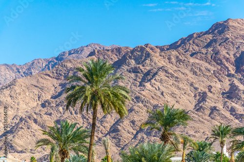 Palm forest with a mountain range on background in Aqaba, jordan - 253654478