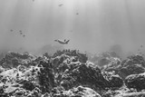 Black and white turtle swimming over coral reef