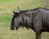 Fototapeta Konie - Close up wildebeest in the open zoo, wildebeest in Thailand. © jerd nakata