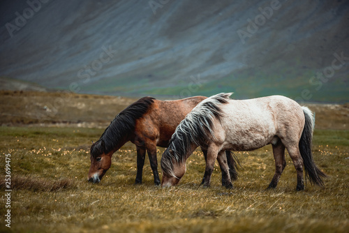 Leinwandbild Motiv Icelandic horse in the field of scenic nature landscape of Iceland. The Icelandic horse is a breed of horse locally developed in Iceland as Icelandic law prevents horses from being imported.