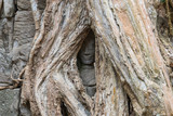 Face of Apsara in behind the roots of tree in Ta Prohm Temple, Cambodia
