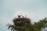 Three White Stork chicks are standing in their nest at the top of a coniferous tree.