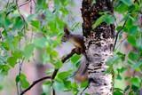 Ecureuil sur son arbre