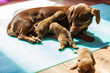 Little dachshund mom feeding puppies newborns