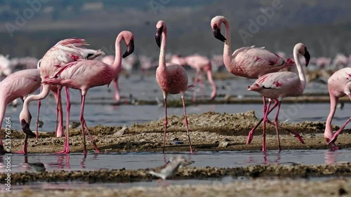 A flock of pink flamingos in Masai Mara park, Kenya
