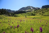 Fototapeta Natura - endemic flower types.artvin  © murat