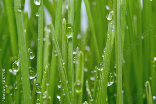 fresh green grass with water drops - 253777085