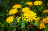 Fototapeta Dmuchawce - Dandelion, lighted by the sun in the grass on the background of yellow flowers © adept72