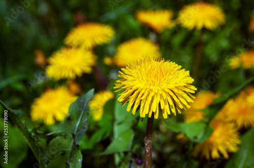 Dandelion, lighted by the sun in the grass on the background of yellow flowers - 253779090