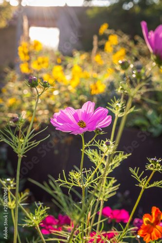cosmos bipinnatus the garden cosmos or Mexican aster popular as an ornamental plant in temperate climate gardens at golden sunset - 253807048