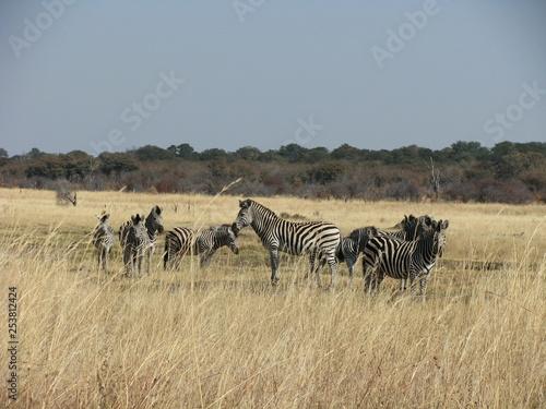 herd of zebras - 253812424