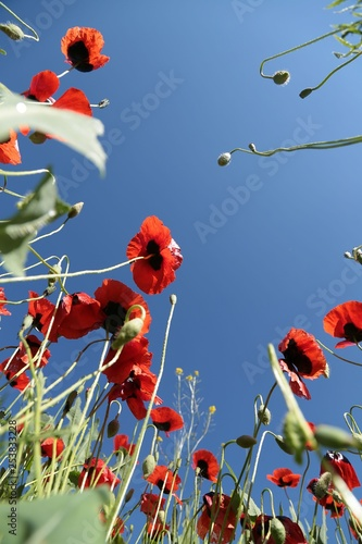 red poppy flower garden.turkey  - 253833228