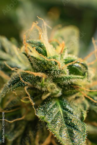 Marihuana - obrazy na płótnie, Fototapety na wymiar, Obrazy na ścianę