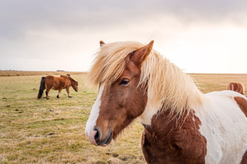 Brown and White Iceland Horse in a Field on a Cloudy Fall Day