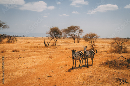 Zebras on plains of Africa