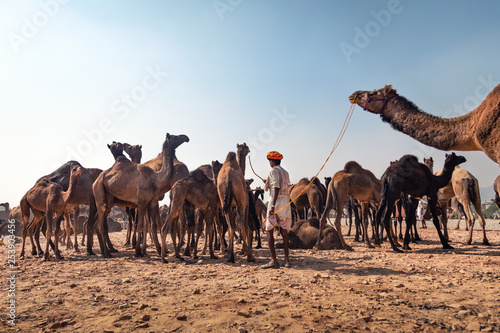 Camel fair of Pushkar with the cityscape of the town - 253903456