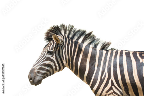 Zebra isolated on white background of file with Clipping Path . - 253917265