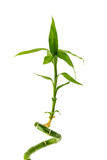 Green sprout of Asian bamboo with leaves, isolated