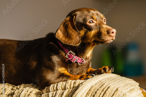 obraz lub plakat Little dog sitting on couch