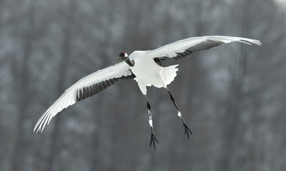The red-crowned crane in flight. Front view. Scientific name: Grus japonensis, also called the Japanese crane or Manchurian crane.