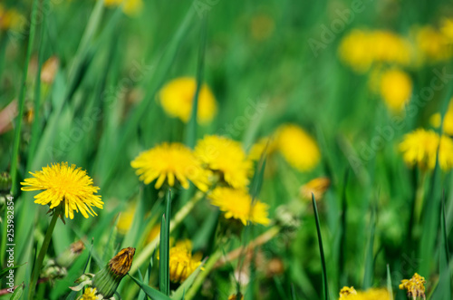 Dandelion on a green meadow - 253982854