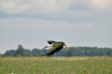 stork hovers over the field