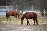 Fototapeta Horses - Dwa brązowe konie na pastwisku © SP9LE