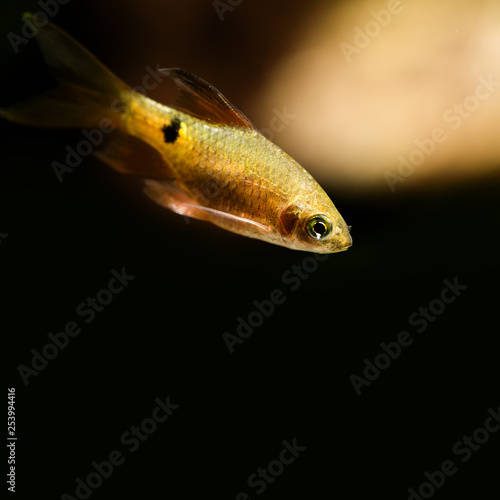 Aquatic nature still life scene with young longtail barb fish on black background. Pethia Conchonius exotic aquarium fish macro view. Shallow depth of field, copy space. - 253994416