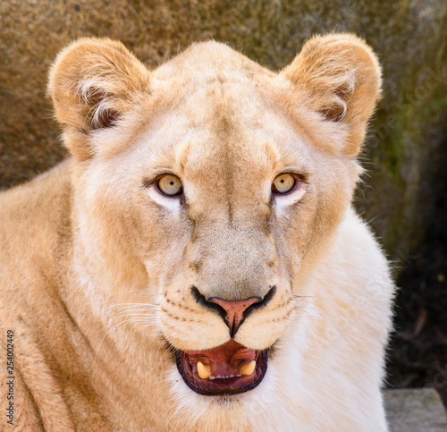 Portrait of South African lion (Panthera leo krugeri) relaxing in a meadow at ZOO