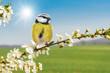 Leinwanddruck Bild - Der Frühling ist da! Meise sitzt auf blühendem Zweig vom Weißdorn